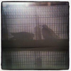 Pigeon shadows