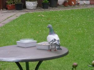 one loft Pigeon- Germany