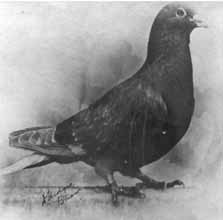 The Royal Pigeon Racing Association | Pigeons in War