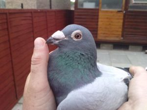 Leslie Winner of 1st Club, 1st West SECTION Glasgow Federation and also father to many good pigeons at my loft